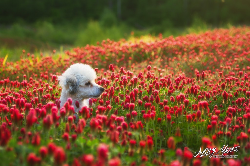 Poodle in a field of clover