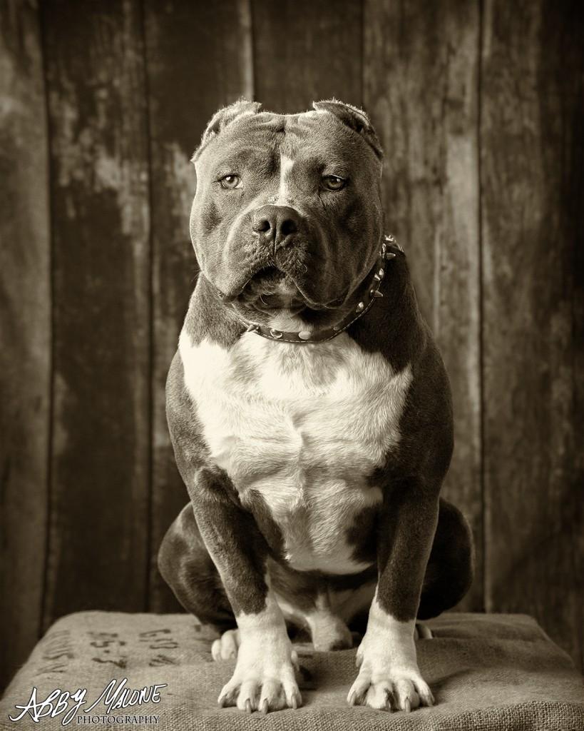 Pitt Bull Photography