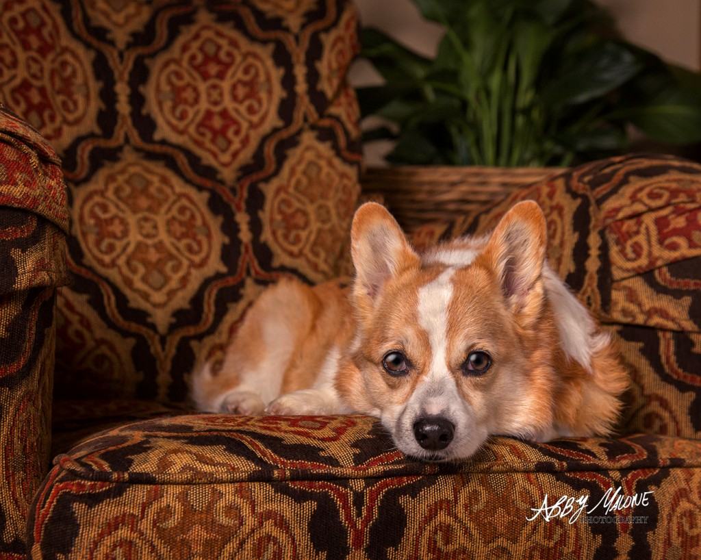 Corgie Photography