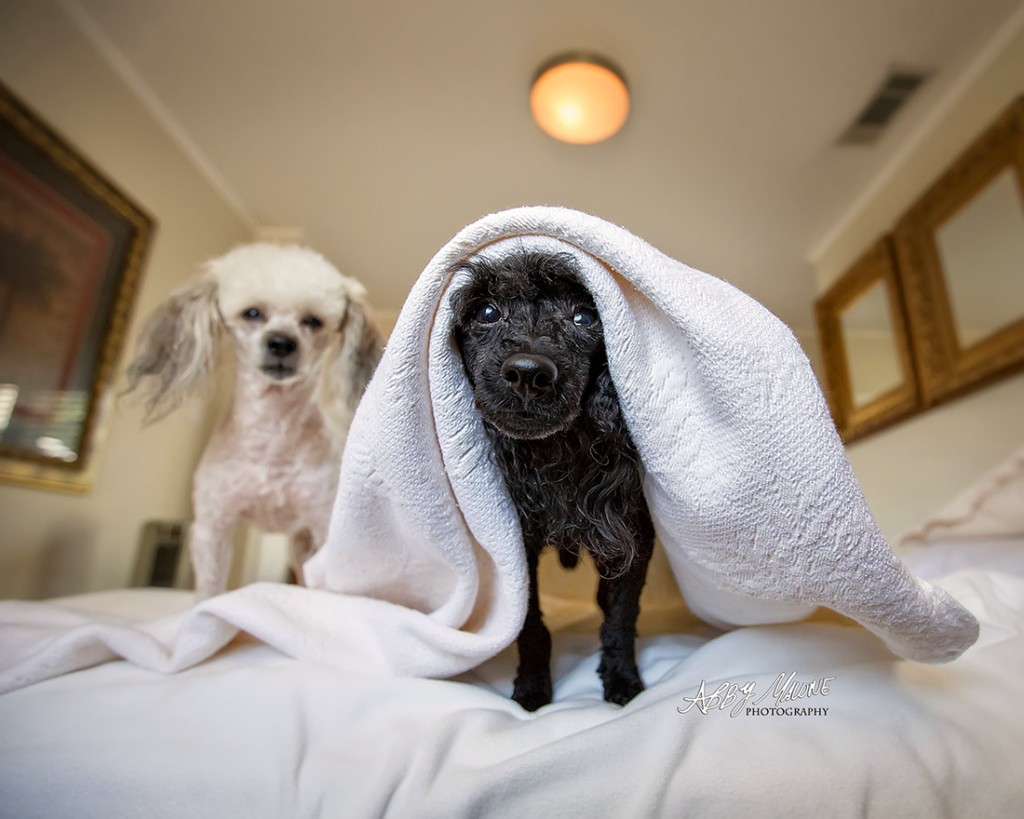 Toy Poodle Photography