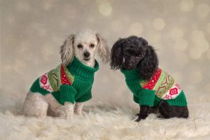 Toy Poodle Portraits