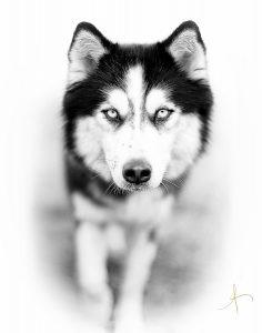Huskey 11 x 14