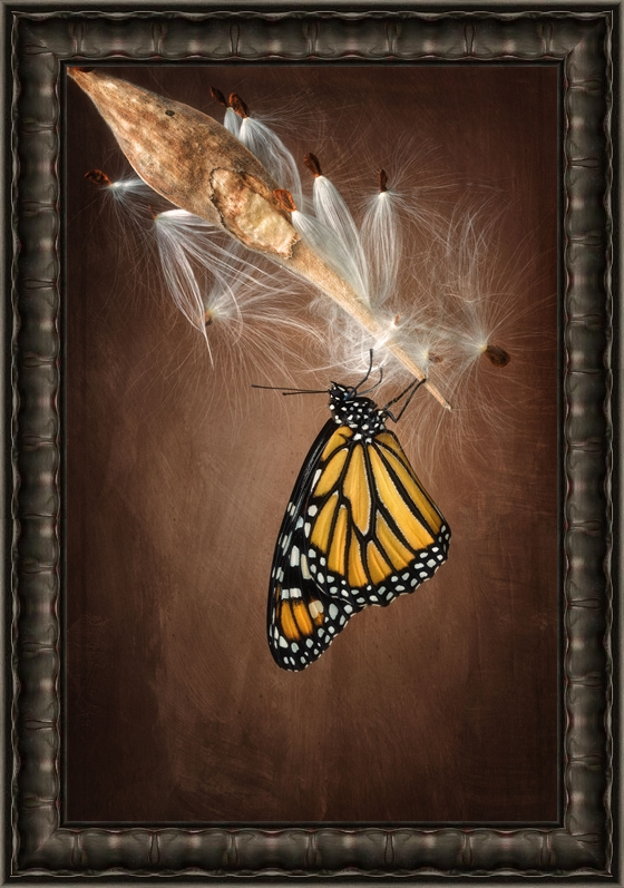 Monarch Butterfly Photography
